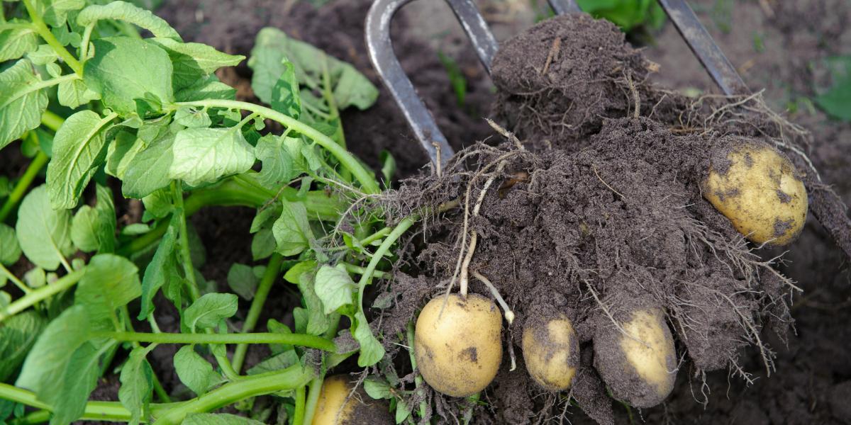 Lyckas med potatisodlingen – våra bästa tips